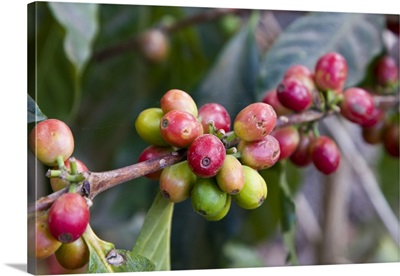 Guatemala, Antigua, Coffee Plantation and museum, red coffee beans on plant