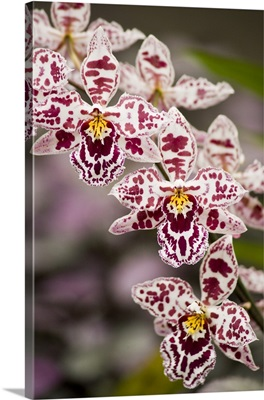 Hawaii, Hilo. A spray of orchids growing in the Hawaii Tropical Botanical Gardens
