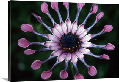 Hawaii, Maui. Close-up of spoon daisy or Nasinga Purple flower