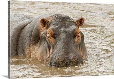 Hippopotamus, Hippopotamus Amphibius, Serengeti National Park, Tanzania, Africa