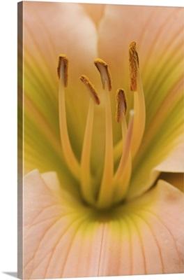 Hybrid Daylily, Hemerocallis spp
