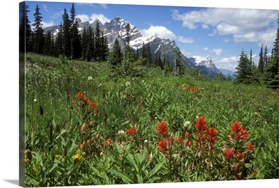 Indian Paintbrush in field near Peyto Lake in Banff National Park, Canada