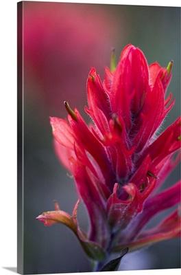 Indian Paintbrush, Scarlet Paintbrush, Castilleja Miniata, Scrophulariaceae, Figwort
