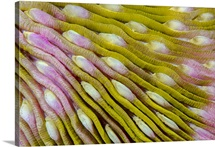 Indonesia, West Papua, Raja Ampat. Close-up of hard coral
