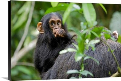 Infant Chimpanzee, Africa, Uganda, Kibale National Park, Ngogo Chimpanzee Project