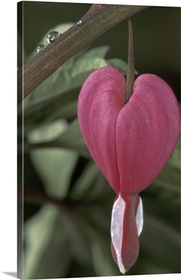 Iowa. Common bleeding heart flower