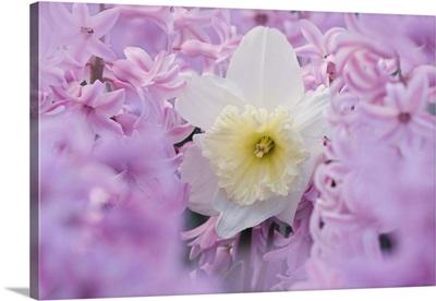 Jonquil, Narcissis spp. among hyacinth flowers, Indianapolis, Indiana