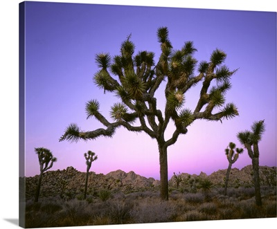Joshua tree at dusk. Mojave Desert, Joshua Tree National Park, CA