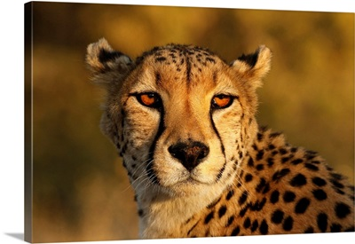 Kenya, Masai Mara National Reserve, Cheetah Close-Up At Sunset