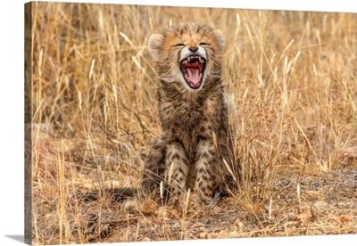 Kenya, Masai Mara National Reserve, Close-Up Of Cheetah Cub Yawning