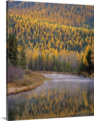 Larch Trees reflect into McDonald Creek in Autumn in Glacier National Park Montana