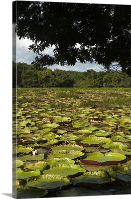 Largest lily, the Giant Amazon Water Lily, in permanent ponds, Rupununi, Guyana