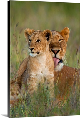 Lioness Licking Cub Clean At Dusk, Ol Pejeta Conservancy, Kenya
