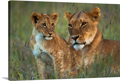 Lioness With Cub At Dusk, Ol Pejeta Conservancy, Kenya