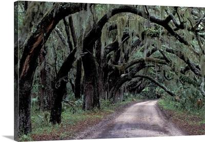 Live oaks line a dirt road