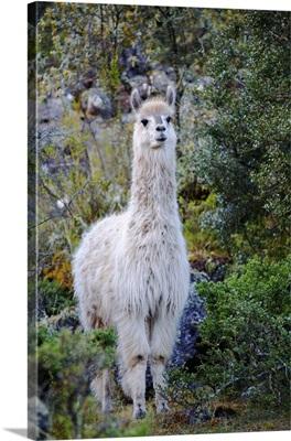 Llama in Lares Valley, Cordillera Urubamba, Peru