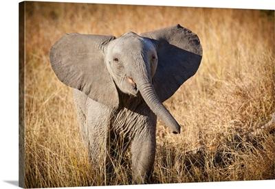 Londolozi Game Reserve, South Africa. Young Bush Elephant.