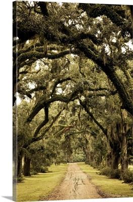 Louisiana, St. Francisville. Oak trees on former plantation