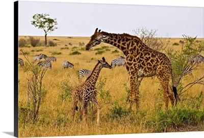 Maasai Giraffes Roaming Across The Maasai Mara Kenya.