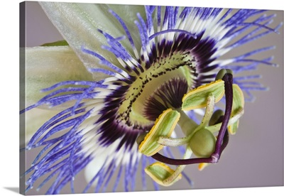 Macro of side view of passion flower