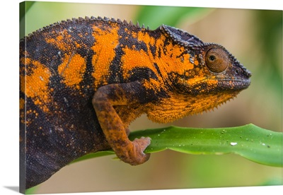 Madagascar, Marozevo, Peyrieras Reptile Farm, Panther Chameleon, Female Of The Species