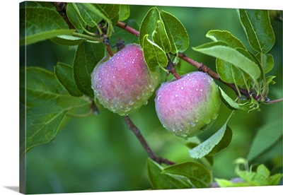 Maine, Harpswell. Close-up of dew-covered apples on tree