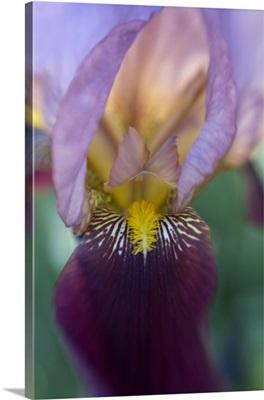 Maine, Harpswell. Close-up of iris flower
