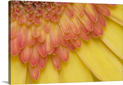 Maine, Harpswell. Close-up View of yellow and pink gerbera daisy petals