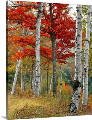 Maine, Wyman Lake. Forest of birch and maples in autumn colors