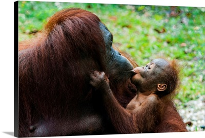 Malaysia, Semenggoh Nature Reserve, Orangutan Mother And Baby.