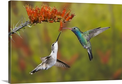 Male broad-billed hummingbird shares a bloom with a female black-chinned hummingbird