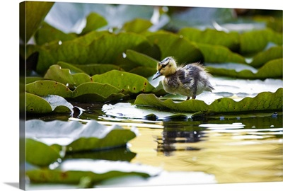 Mallard duckling, Anas platyrhynchos, Stanley Park, British Columbia