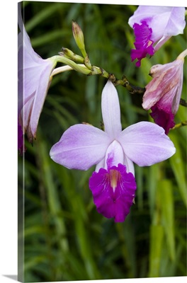 Martinique. French Antilles. West Indies. Bamboo orchid blooming at Jardin de Balata