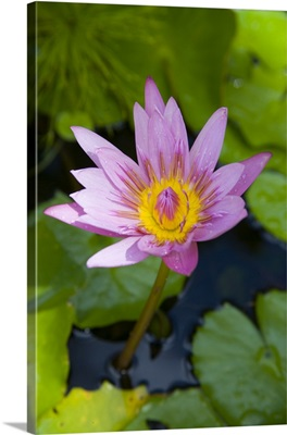 Martinique, French Antilles, West Indies, Blue water lily flower at Jardin de Balata