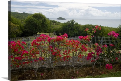 Martinique, French Antilles, West Indies, Flowering bougainvillea