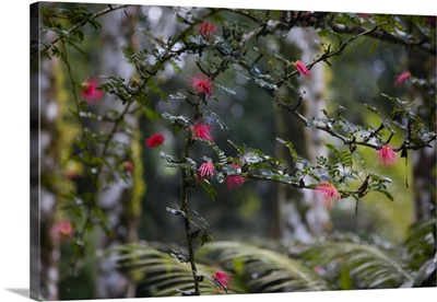 Martinique, French West Indies, Calliandra in bloom at Jardin de Balata