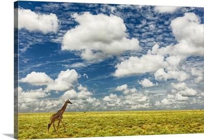 Masai Giraffe On Open Plains Of Serengeti National Park, Tanzania, Africa