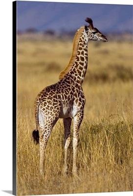 Masai Giraffe On Plain, Masai Mara National Reserve, Kenya