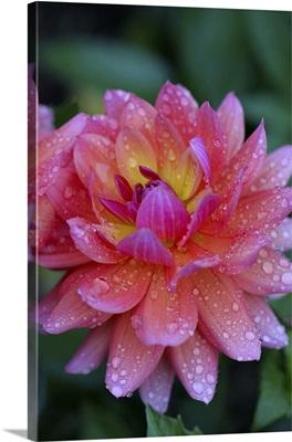 Massachusetts, Shelburne Falls. A flower on the Bridge of Flowers after rain