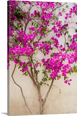 Mexico, Pozos, Bouganvilla blooming on wall in the town of Mineral de Pozos