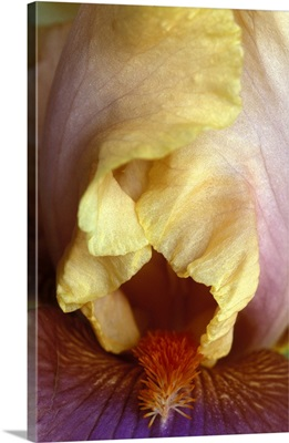 Michigan, Rochester Bearded Iris, domestic