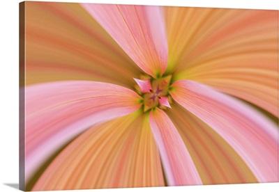 Mirrored Close-up of Dahlia flower, Dahlia spp. Rockport, Maine