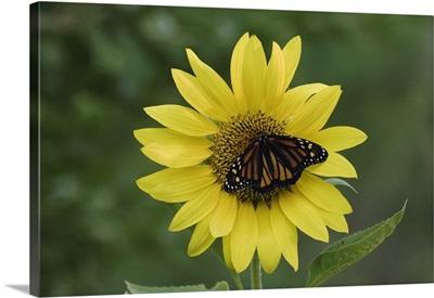 Monarch, Danaus plexippus, adult on sunflower, Willacy County, Rio Grande Valley, Texas