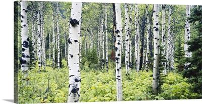 Montana, Glacier National Park, Alpine forest of white birch trees