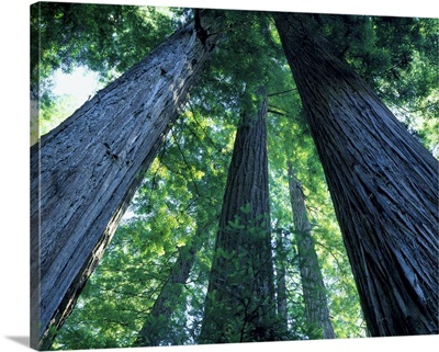 Montgomery Woods State Reserve, California. Ancient redwoods