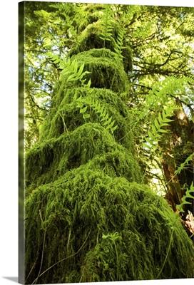 Mossy tree, Gibsons, British Columbia