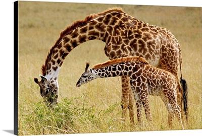 Mother And Baby Masai Giraffe, Masai Mara Game Reserve, Kenya