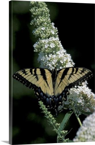 N A Ohio Roemer Nursery Tiger Swallowtail On Buddleia