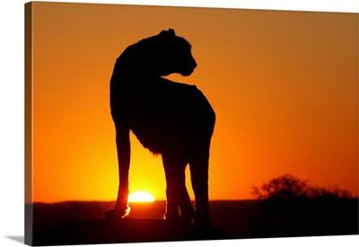 Namibia, Cheetah Silhouette At Sunset
