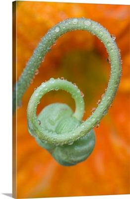 Nasturtium curl with rain